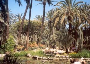 In Elche gibt es genausoviele Palmen wie Menschen: 200.000.