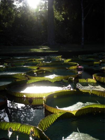 Riesige Seerosen im botanischen Garten.